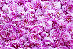 Pink tea roses background. With water drops Stock Image
