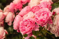 Pink tea roses in bloom Royalty Free Stock Photos