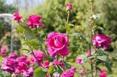 Pink tea roses closeup. Flowers of pink tea rose closeup Stock Image