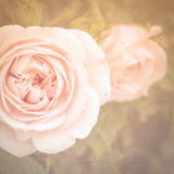 Pink Tea Roses. Light pink tea roses with vintage effect taken in England in 2014 Stock Photos