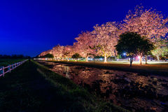Pink Tecoma flower in night time. Pink Tecoma flower in the park / night time Stock Photo