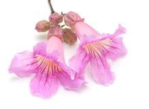 Pink tekoma flowers Royalty Free Stock Photo