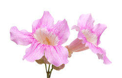 Pink tekoma flowers Stock Image