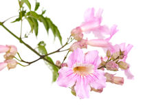 Pink tekoma flowers Stock Images
