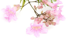 Pink tekoma flowers Royalty Free Stock Images