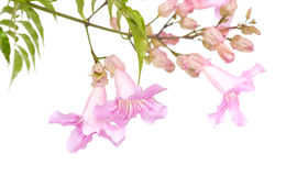Pink tekoma flowers Stock Photo