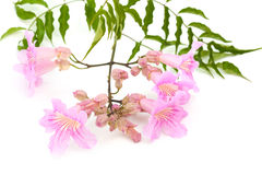Pink tekoma flowers Royalty Free Stock Photos
