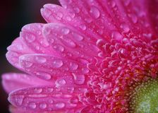Large gerbera petals with water drops stock photo