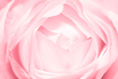 Pink tender rose Stock Image