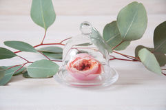 Pink tender rose flower under glass cover surrounded by eucalypt Royalty Free Stock Images