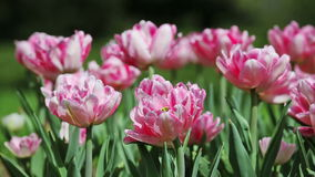 Pink tender tulips Royalty Free Stock Photography