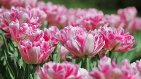 Pink tender tulips Stock Images