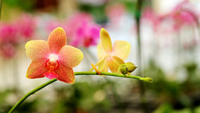 Pink texture Farland orchid in colorful flower garden with soft focus background. Have some space for write wording Stock Images