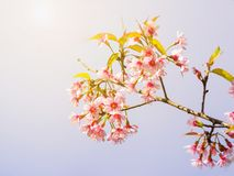 Pink Thai cherry blossom branch Royalty Free Stock Photos