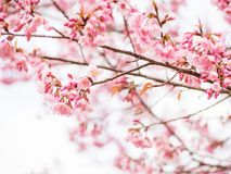 Pink Thai cherry blossom branch Royalty Free Stock Photo
