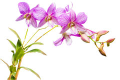 Pink thai orchids on isolate. stock photos