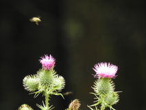 A pink thistle and a bee Royalty Free Stock Images