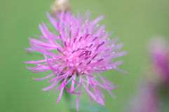 Pink thistle blossom. Close-up on green background Stock Photos