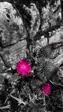 Pink thistle Stock Images