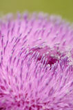 Pink thistle closeup. Pink thistle in springtime sun Royalty Free Stock Photos