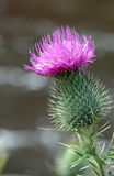 Pink Thistle Flower Stock Image