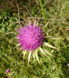 Pink Thistle flower head Stock Photos