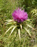 Pink Thistle flower head Stock Photo