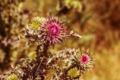 Pink thistle flowers in wild herbal medicine Silybum marianum, milk thistle, Cardus marianus, Mediterranean milk cardus marianus