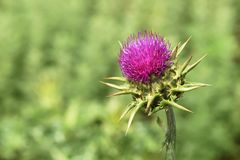 Pink Thistle. Fresh thistle on green background Royalty Free Stock Image