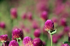 Pink thistle-like flowers Stock Images