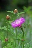 Pink thistle plant Stock Photo