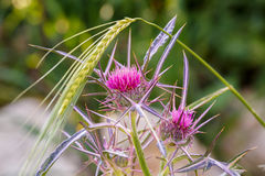 Pink thistle with wheat ears Royalty Free Stock Image