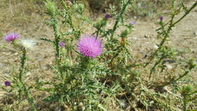 Pink thorny flower Stock Photography