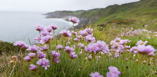Pink Thrift Flowers on Clifftop. Armeria maritima, common name Pink Thrift, growing on the coastal cliff top in North Devon, UK Stock Images