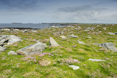 Pink thrift on rocky surface Royalty Free Stock Photo