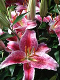 Pink tiger lilies with buds. Close up of a bunch of pink tiger lilies with buds both open & closed. Photo shows the stamens and speckles Stock Image