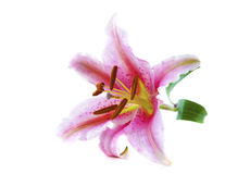 Pink tiger lily Royalty Free Stock Photo