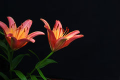 Pink Tiger Lily Blooms Stock Image
