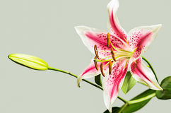 Pink tiger lily Royalty Free Stock Images