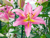 Pink tiger lily on green background Royalty Free Stock Photography