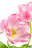 Pink tilips over white. Some opened pink tulips over white Stock Image