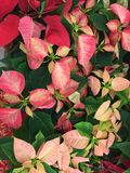 Multi-colored Poinsettias for the Winter Holidays. Pink tinged leaves of Christmas Poinsettias. Shades of pink from dark almost red leaves to almost white leaves royalty free stock images
