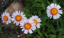 Pink tinted Alpine Asters in a row Stock Photography