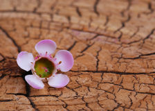 Pink Tiny Flower on Old Wooden Royalty Free Stock Image