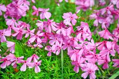 Pink Tiny Flowers Home Garden Stock Photo. Pink Tiny Flowers Home Garden Summer Gardening and Planting Plants Stock Photo royalty free stock photography