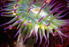 Pink-tiped Anemone (2). Pink-tiped surf anemone royalty free stock photo
