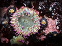 Pink Tipped Sea Anemone in a Tide Pool Royalty Free Stock Photography