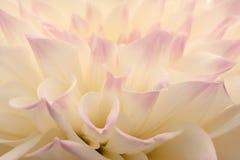 Pink tipped white dahlia macro Stock Photos