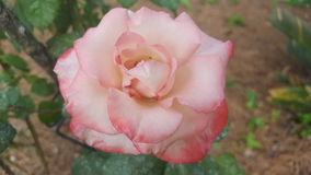 Pink tipped white rose. A beautiful white rose that fades into pink at the tips of the petals Royalty Free Stock Photo