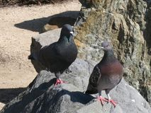 Pink-toed pigeons Stock Images